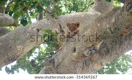 A very cute little lion cub leaning on a tree