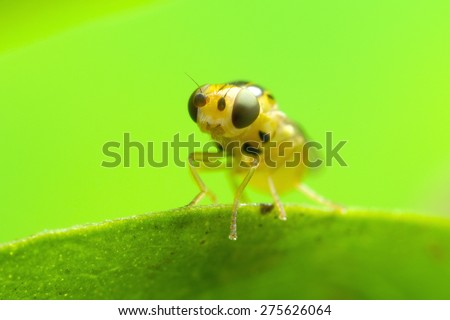 "A very high magnification photo of a tiny fly, hence the shallow depth of field. It is only 3mm (1/8"") overall in length! - stock photo"
