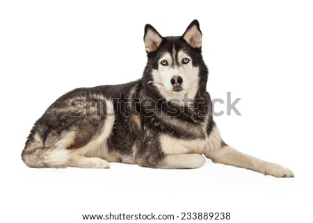 A very serious looking Siberian Husky Dog laying and looking forward.  - stock photo