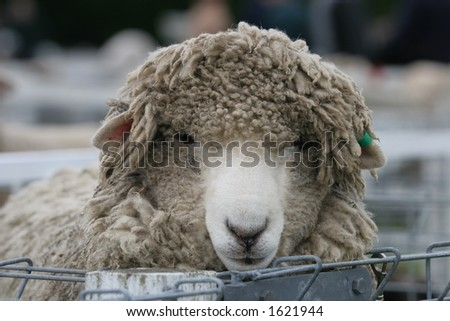 A very shaggy sheep in the sheep pens at a stock show.  Shallow DOF. - stock photo