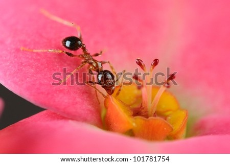 A very small black ant eats nectar on a pink petal. Got this shot with micro photography equipments - stock photo