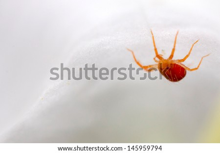 A very small red mite (anystis baccarum) inside a white flower - stock photo