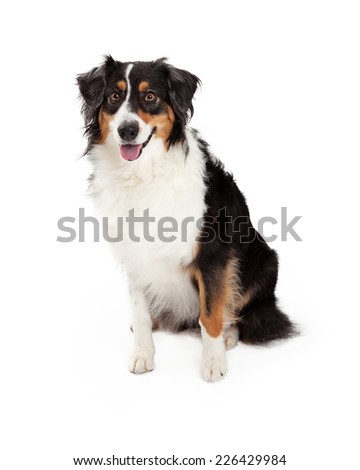 A very well trained Australian Shepherd Dog sitting while looking forward.