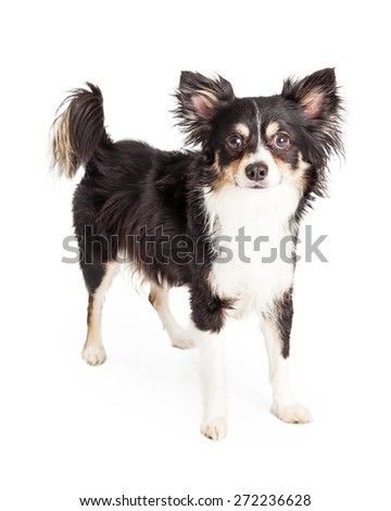 A very well trained Chihuahua Mixed Breed Dog standing while looking directly into the camera. - stock photo
