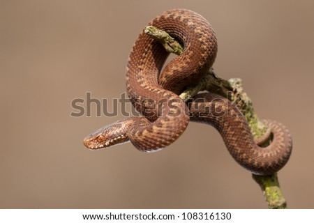 A very young juvenile European Adder (Vipera berus). A perfect replica of its parents this snake this snake is just six inches long and less than a year old. - stock photo