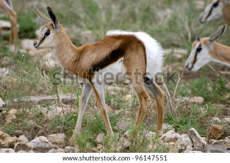 A very young Thomson's Gazelle tries to catch up with his mom - stock photo