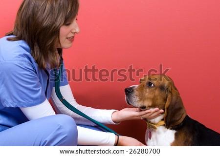 A veterinarian checking out a beagle dog. - stock photo