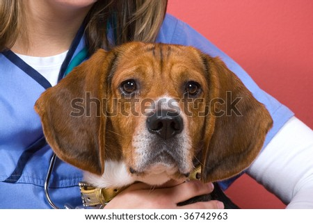 A veterinarian holding onto a purebred beagle dog during his visit.  He looks a little nervous.