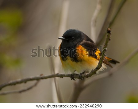 A vibrant male American Redstart, one of the American wood warblers, perches on a branch in a Wisconsin forest while foraging for food. - stock photo