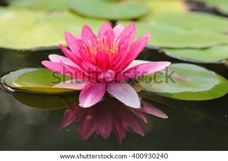 A Vibrant Pink Water Lily - stock photo