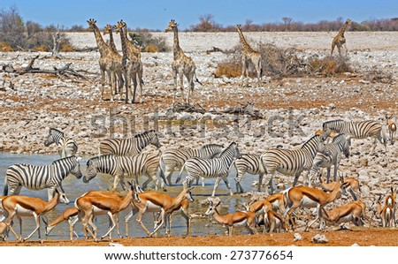A vibrant waterhole in Etosha National park with different species drinking - stock photo