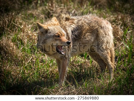 A vicious and angry looking North American coyote ( Canis latrans ) close-up. - stock photo
