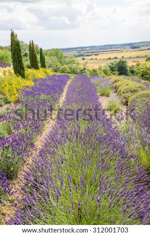 A view across beautiful Lavender fields on a summers day