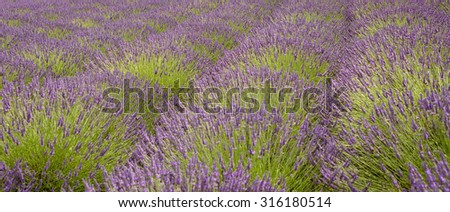 A view across beautiful Lavender fields on a summers day - stock photo