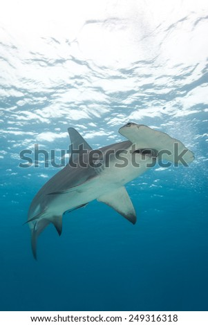 A view from below a hammerhead shark with blue water in background.  Sphyrna mokarran - stock photo