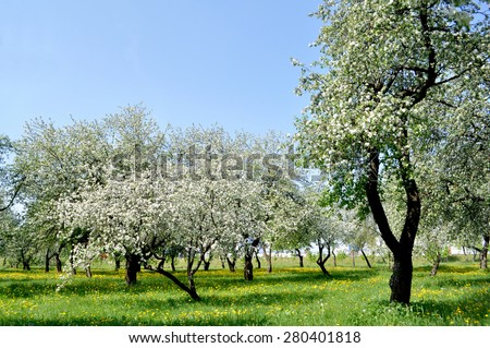 A view of a blooming apple garden - stock photo