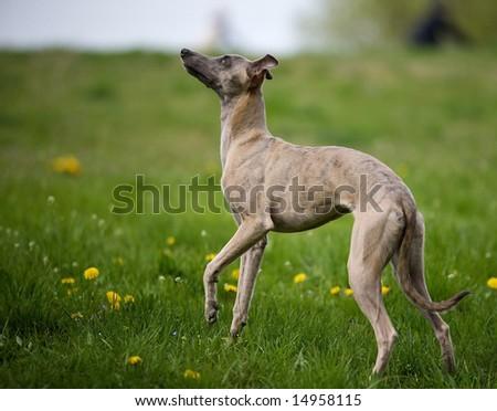 Hound Dog Eye Sight