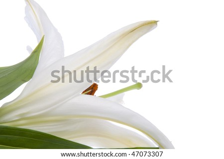 A view of a Lily from behind.  A fresh image for spring.