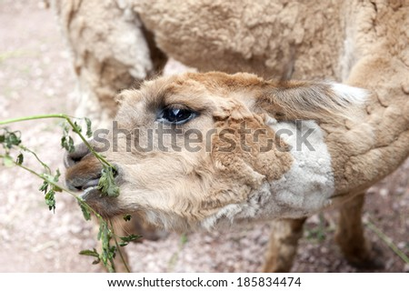A view of an llama eating grass on a cloudy day.