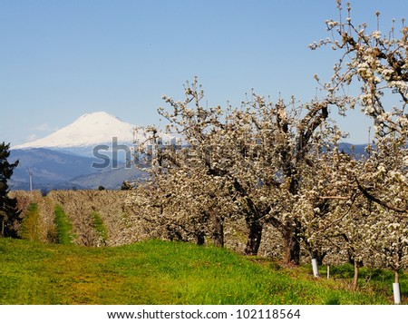 A view of orchards and mountain in Hood river - stock photo