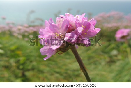 View pink thrift flowers coastal path stock photo royalty free a view of pink thrift flowers from the coastal path above portwrinkle in southeast cornwall mightylinksfo