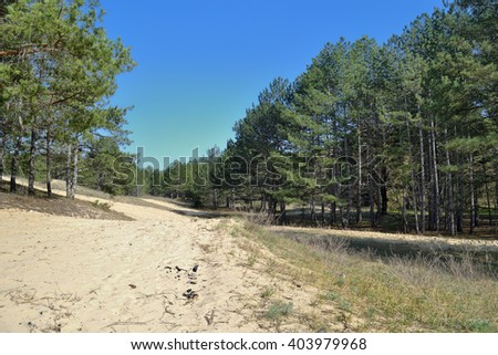 a view of planted pine wood on sandy steppe grounds in Southern part of Ukraine - stock photo