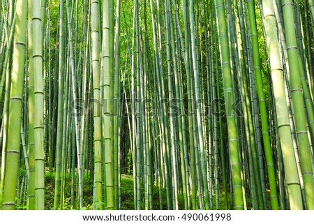A view of the green bamboo grove downing sunshine in korea / the green bamboo grove downing sunshine