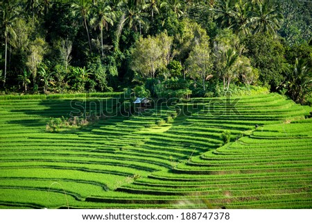 A view of the terraced rice fields on the rich fertile volcano soil hills of Bali, Indonesia. - stock photo