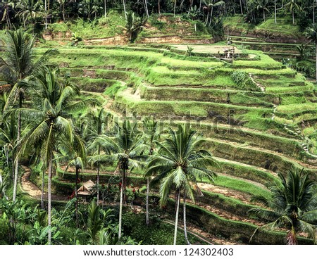 A view of traditional verdant green rice paddy terraces carved into the side of a hill in central Bali in Indonesia. (Scanned from color slides.)