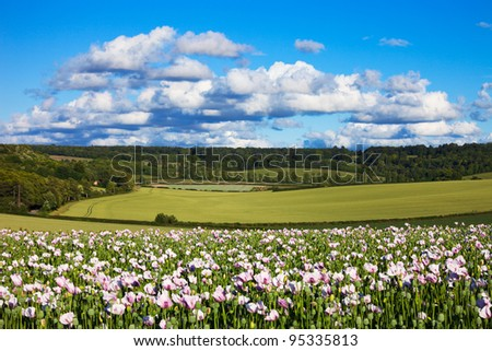 A view over a summer landscape in the Chilterns, Oxfordshire, with a field of opium poppies in the foreground and fluffy clouds in a blue sky overhead.