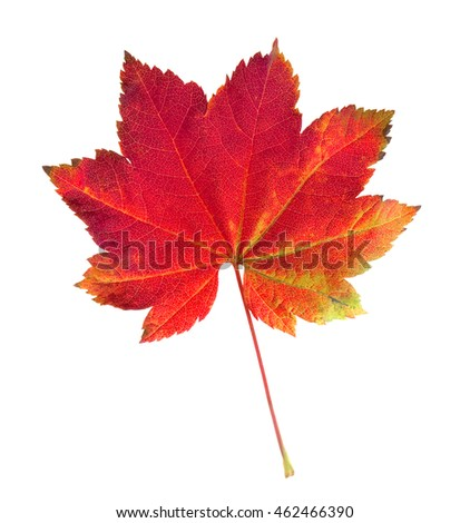 A Vine Maple leaf, Acer circinatum, in Fall colors.
