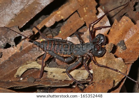 A Vinegaroon Scorpion in the rain forests of the Danum Valley in Sabah, Malaysia, Borneo. - stock photo