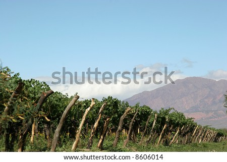 A vineyard in Cafayate, northern Argentina - stock photo