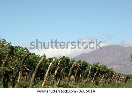 A vineyard in Cafayate, northern Argentina - stock photo