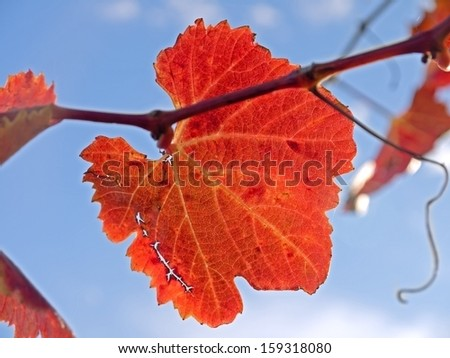 A vineyard in Lower Austria in the fall time.  - stock photo