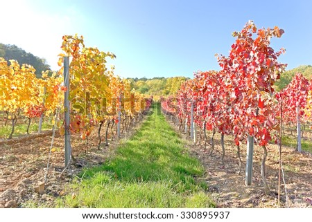 A vineyard in the fall time.