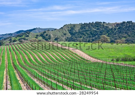 A vineyard landscape near Santa Barbara, California. - stock photo