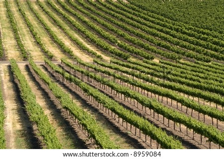 A vineyard, with its rows of grape-bearing vines, makes a great pattern and/or background
