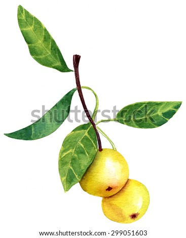 A vintage style watercolour drawing of a branch of golden apples