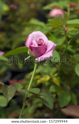 A violet rose in the garden - stock photo