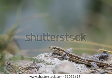 A vivparous lizard crawling through vegetation on the ground. He is shedding skin. - stock photo