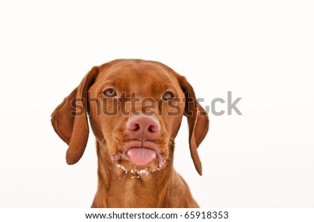 A vizsla dog sticks out its tongue in winter with some snow on it's chin. White background.