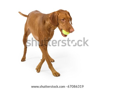 A Vizsla dog walking with a tennis ball in her mouth and isolated on white