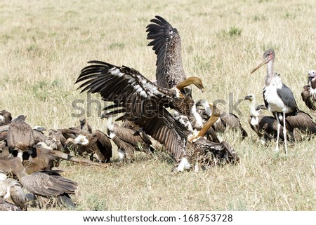 A wake and fighting vultures - stock photo