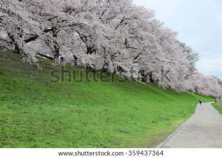 A walking path by river bank with a romantic archway of beautiful Sakura blossoms ~ An amazing spring scenery of blooming cherry trees in a long row on green meadows in Yawata Sewaritei, Kyoto, Japan - stock photo