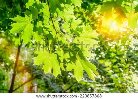 A warm sun illuminates the maple leaves  through the tree branches in autumn - stock photo