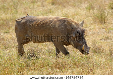 A warthog (Phacochoerus africanus) grazing in Ngorongoro Conservation Area, Tanzania - stock photo