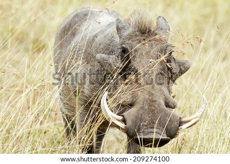A warthog (Phacochoerus africanus) on the Maasai Mara National Reserve safari in southwestern Kenya. - stock photo