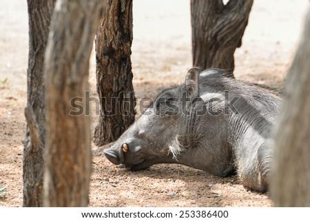 A warthog sleeping in between trees - stock photo