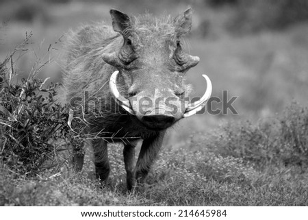 A warthog with large tusks in this black and white image.